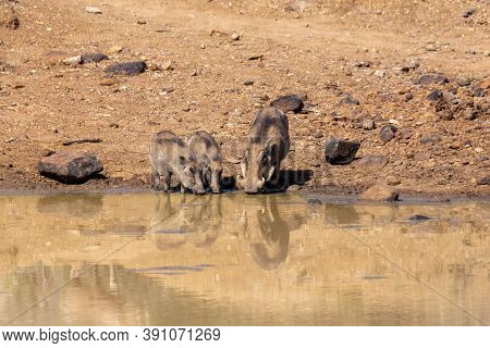 Family Of African Pig Warthog On Waterhole In Pilanesberg Game Reserve, South Africa Safari Wildlife