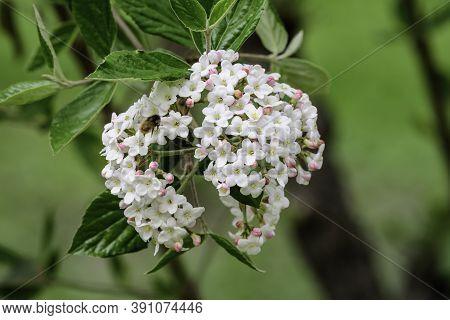 Shrub With White Flowers Of Viburnum Opulus Plant, Known As Guelder Rose, Water Elder, Cramp Bark, S