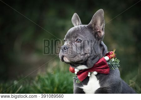 Beautiful Young Blue French Bulldog Dog Wearing Seasonal Christmas Collar With Red Bow Tie On Blurry