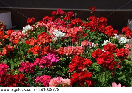 Background Of Vivid Pink And Red Pelargonium Flowers (commonly Known As Geraniums, Pelargoniums Or S
