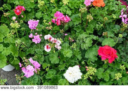 Background Of Vivid Pink, Red And White Pelargonium Flowers (commonly Known As Geraniums, Pelargoniu