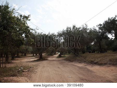 Through The Olive Groves To Banana Beach