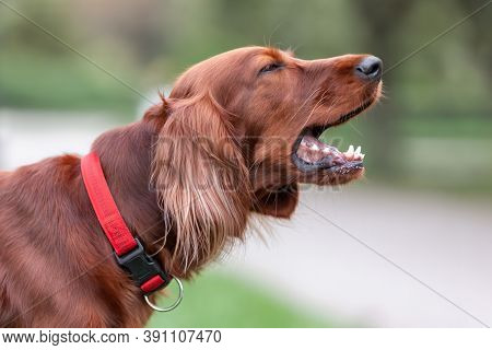 Red Irish Setter Dog Is Barking At Nature. Close Up Potrait Of Pet.