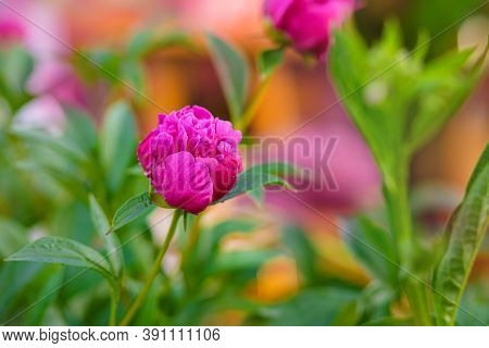 Pion. Spring Concept. Pink Flower On Green Background