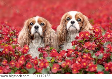 Two Cute Cavalier King Charles Spaniel Dogs Sitting Outdoors Among Beautiful Red Summer Flowers. Por
