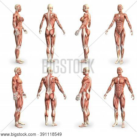 8 High Detailed Images In 1, Male And Female Bodies With Muscle Map - Physiology Concept For Science