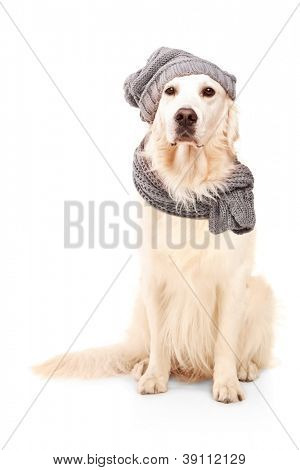 A studio shot of a labrador retriever wearing woolen hat isolated on white background poster