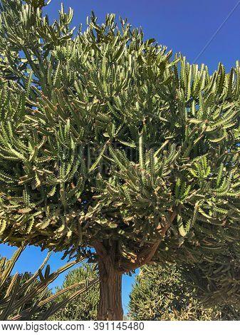 African Milk Bush, Candelabra Tree Under Sun