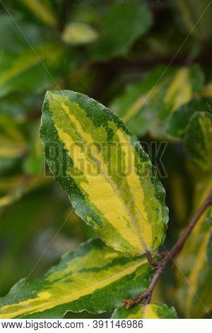 Oleaster Maculata Leaf - Latin Name - Elaeagnus Pungens Maculata