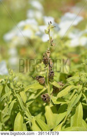 Snapdragon Seed Pods - Latin Name - Antirrhinum Majus