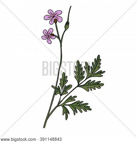Vector Drawing Robert Geranium, Geranium Robertianum, Hand Drawn Illustration