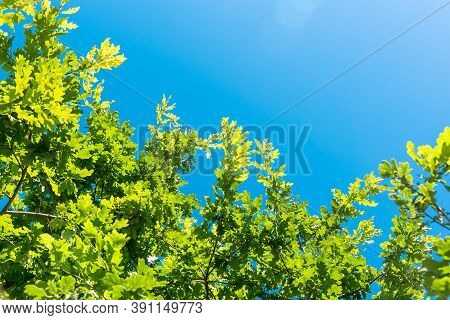 Picturesque Lush Branches Of Oak Tree With Fresh Green Foliage Against Clear Blue Sky At Bright Sunl