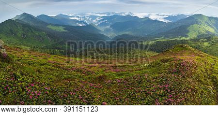 Pink Rose Rhododendron Flowers On Misty And Cloudy Morning Summer Mountain Slope. Marmaros Pip Ivan