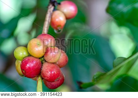 Closeup Scene Of Bunch Of Coffee Fruit On Branch Of A Tree. The Ripe Coffee Fruit Have A Distint Swe