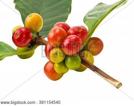 Bunch Of Coffee Fruit With Leaf Isolated On White Background With Clipping Path. Sometime Coffee Fru