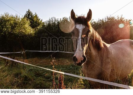 A Portrait Of A Bay Horse In Sunray On Nature Landscape Background. A Well-groomed Thoroughbred Anim