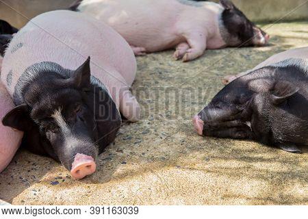Closeup Of Sleeping Pig Facing The Camera. Horizontal Shot.