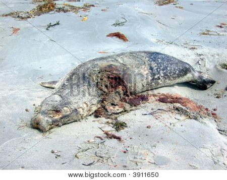 Dead Seal On Beach