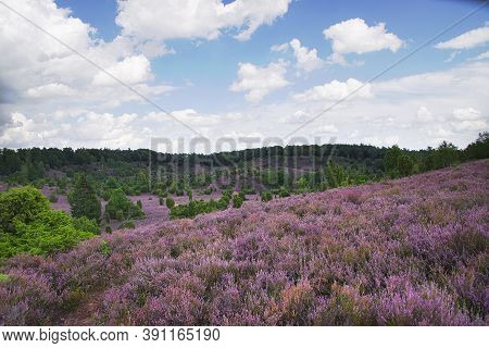 Heath Bloom In The Lüneburg Heath Near Bispingen