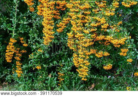 Branches Of A Firethorn Shrub With Many Yellow Berries In A Garden