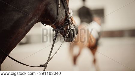 Nose Of A Sports Horse In The Bridle In The Arena. Horse Muzzle Close Up. Portrait Stallion In The B