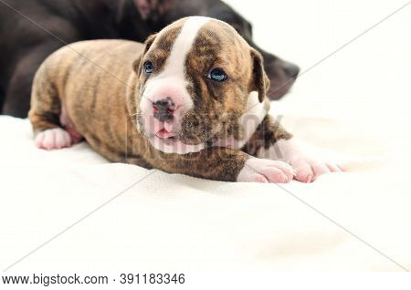 Staffordshire Terrier One-month Puppy Dog. Young Dog Lying Before His Dog Mom On White Blanket With