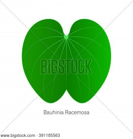 Vector Version Of The Leaf Named Bauhinia Racemosa Or Called Apta Leafs In India, Used In Beedi Or R
