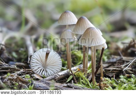 The White Milking Bonnet (mycena Galopus) Is An Inedible Mushroom , Stacked Macro Photo