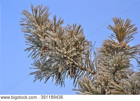 White Snow And Hoarfrost On Pine Tree Branch With Cones Close Up On Blue Sky Background. Green Needl