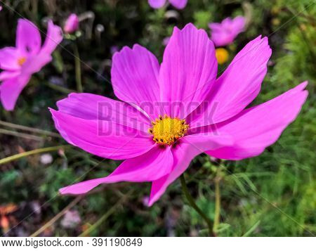 Close up from beautiful violet colored flower in autumn