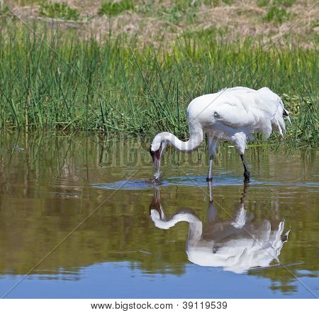 Whooping Crane feeding