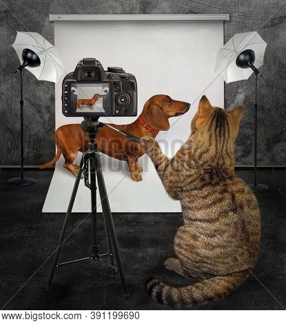 A Cat Photographer Takes A Photo Of A Brown Dachshund In A Red Dog Collar In Its Photo Studio.