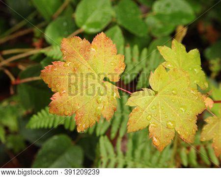 Water On Vine Maple (acer Circinatum) Leaves In Ross Lake National Recreation Area, Washington