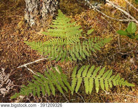 Bracken Fern (pteridium Aquillinum) In Ross Lake National Recreation Area, Washington