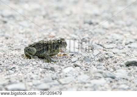 American Toads (anaxyrus Americanus) Are A Very Common Species Of Toad In Eastern North America.