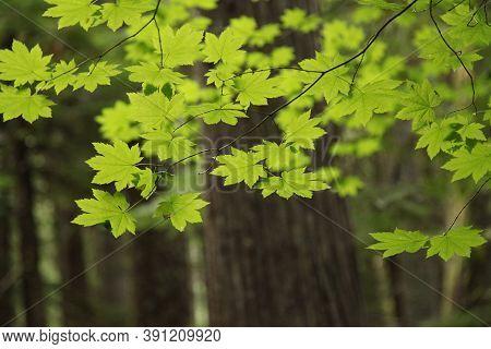 Vine Maple (acer Circinatum) Backlit In Ross Lake National Recreation Area, Washington