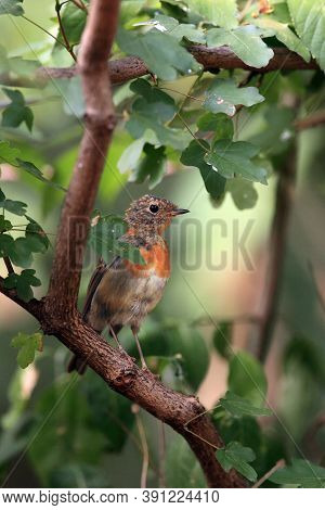 The European Robin (erithacus Rubecula), Known Simply As The Robin Or Robin Redbreast, A Young Bird