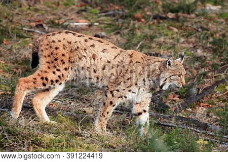 The Eurasian Lynx (lynx Lynx) Walking Through A Meadow. Lynx In Its Natural Habitat.