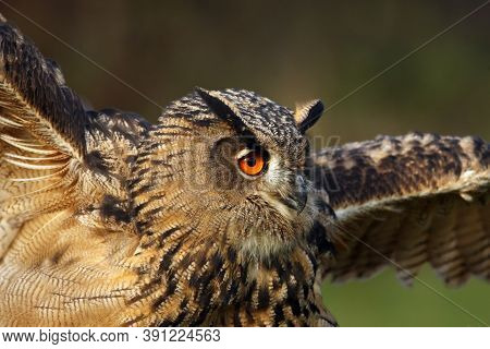 The Eurasian Eagle-owl (bubo Bubo) Portrait With Spread Wings