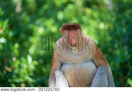 Family Of Wild Proboscis Monkey Or Nasalis Larvatus, In The Rainforest Of Island Borneo, Malaysia, C
