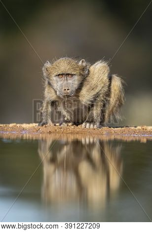 Young Baboon Drinking Water Reflection While Looking Straight At Camera In Karongwe Reserve Near Kru