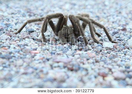 Desert Tarantula #3