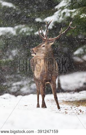 Red Deer Stag Standing In Forest During Winter Snowstorm