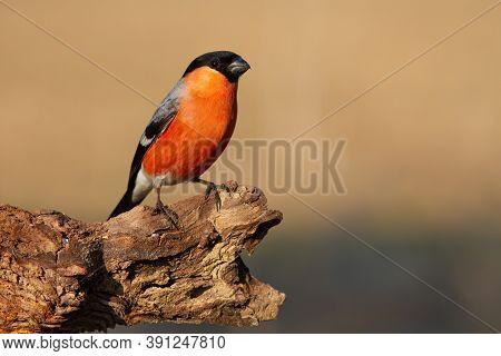 Eurasian Bullfinch Sitting On Bough In Autumn Nature