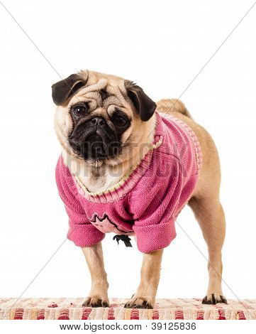 Funny pug dog in a pink sweater