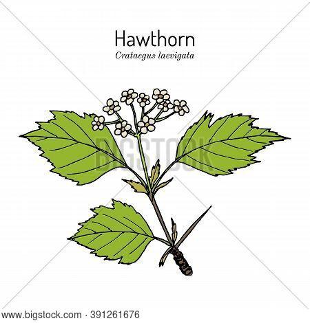 English Hawthorn Crataegus Laevigata , Or Mayflower, Medicinal Plant. Hand Drawn Botanical Vector Il