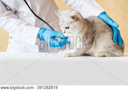 Examination Of A Cat By A Veterinarian In A Vet Clinic. Scottish Chinchilla Straight,