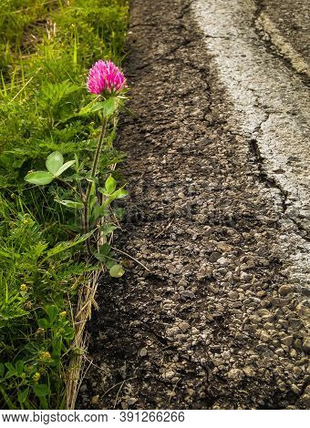 Solitary Pink Clover Blossom Struggles At Side Of The Road