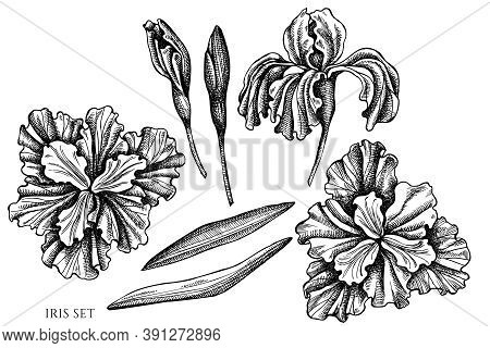 Vector Set Of Hand Drawn Black And White Iris Stock Illustration