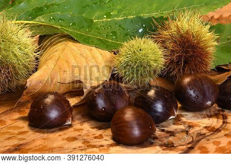 Detail Of Chestnuts With Curl And Green Chestnut Twig On Wooden Cutting Board.